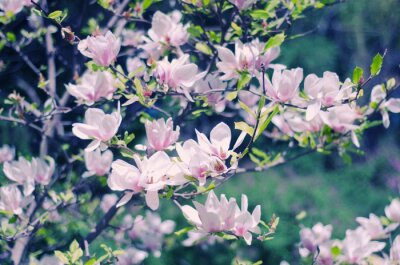 Adesivo Rosa flores de magnólia como um belo fundo de primavera floral (DOF raso, estilo retro)