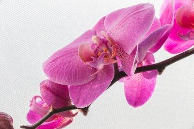 Adesivo Rosa, orquídea, flor, isolado, branca, fundos