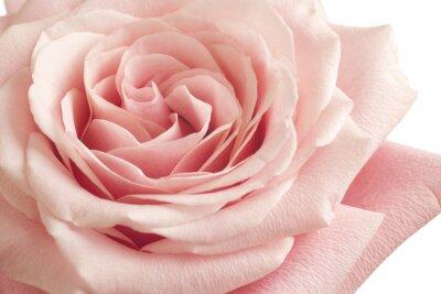 Adesivo Rosa rosa closeup