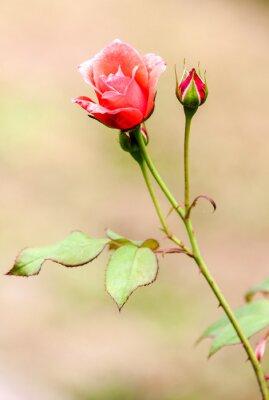 Adesivo Rose champêtre