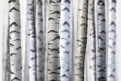 Adesivo seamless birch trees