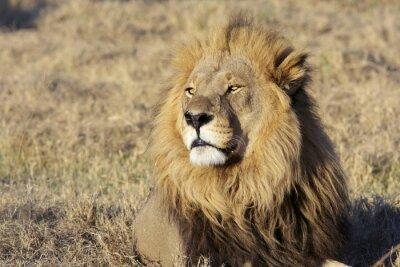 Adesivo Selvagem masculino retrato do leão
