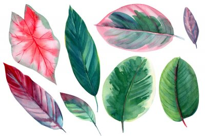 Adesivo set of leaves on isolated white background, watercolor illustration, pink and green leaves of tropical plants, rose-painted calathea, Caladium Plants