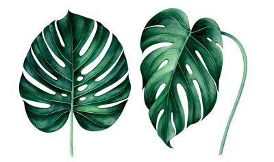 Adesivo Set of tropical monstera leaves isolated on white. Watercolor illustration.