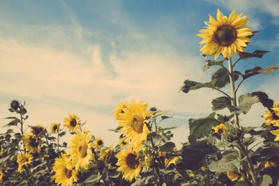 Adesivo sunflower flower field blue sky vintage retro