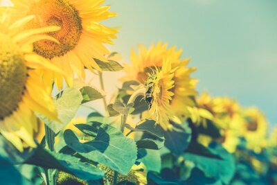 Adesivo Sunflowers Field ver mais