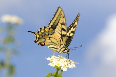 Adesivo Swallowtail que alimenta em flores de Lantana. Velocidade de obturador lenta para capturar as asas voando.