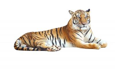 Adesivo Tiger procura câmera com trajeto de grampeamento no fundo branco