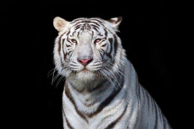 Adesivo Tigre de bengal branco no fundo preto. A besta mais perigosa mostra sua grandeza calma. Beleza selvagem de um gato grande severo.