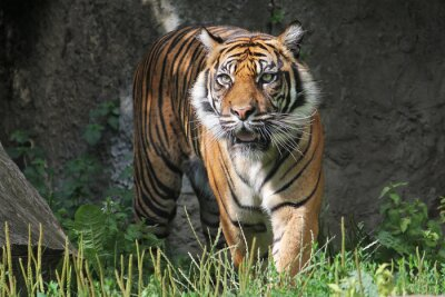 Adesivo Tigre de Sumatra no jardim zoológico de Varsóvia. Dia de verão ensolarado.