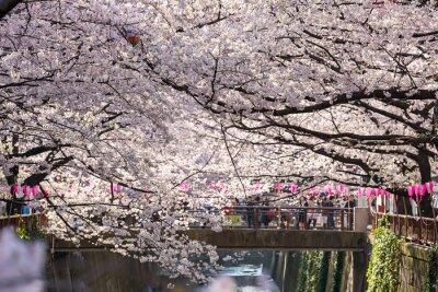 Adesivo TOKYO, JAPÃO - março 30: Turista não identificado que toma o retrato com a flor da flor de cerejeira tomada março 30, 2015 na área de Naga Meguro, Tokyo. Esta área é popular sakura local em Tóquio com