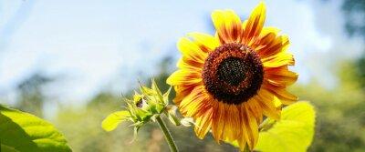 Adesivo Tournesol jaune en pleine floraison