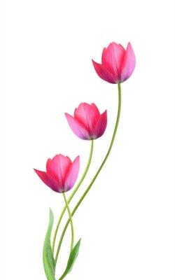 Adesivo Três flores de tulipa isoladas no fundo branco