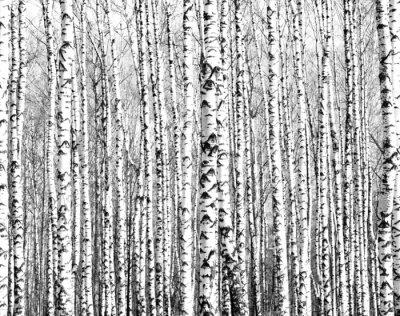 Adesivo Troncos de árvores de vidoeiro Primavera preto e branco