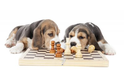 Adesivo two beagle puppies playing chess on a white background in studio