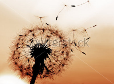 Adesivo Um dente de leão soprando sementes ao vento.