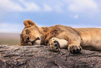 Adesivo Uma leoa dormindo na rocha no Serengeti NP, Tanzânia, África