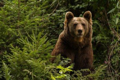 Adesivo Urso-europeu