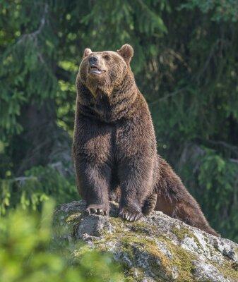 Adesivo urso marrom macho