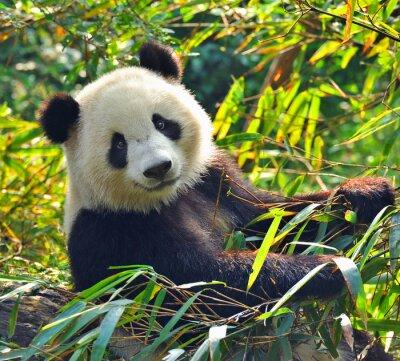 Adesivo Urso panda gigante com fome que come o bambu