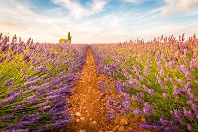 Adesivo Valensole, Provence, França. Lavender field cheio de flores roxas