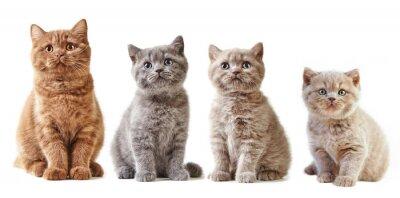 Adesivo Vários gatinhos britânicos