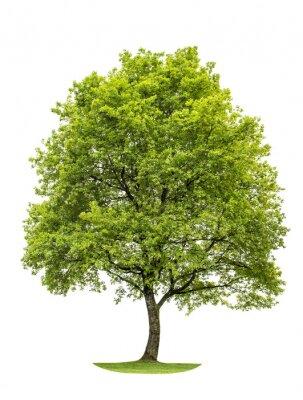 Adesivo Verde árvore de carvalho isolado no fundo branco. Natureza Objecto