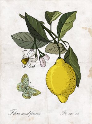 Adesivo Vetor mão desenho limão branch.Botanical ilustração.