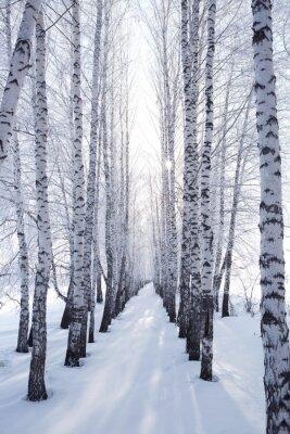 Adesivo Vidoeiro no inverno