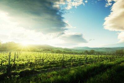 Adesivo Vinha na Toscana, Itália
