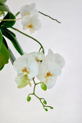 Adesivo White orchid