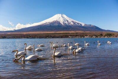 Adesivo White Swan swimimg em Yamanaka Lake, Lake 5 de fuji