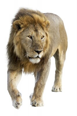 Adesivo Wild free roaming male lion against white background