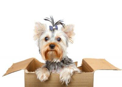 Adesivo Yorkshire terrier em caixa de papelão