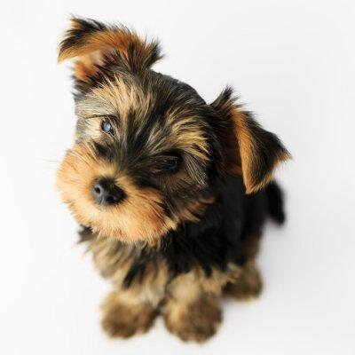 Adesivo Yorkshire terrier - retrato de um filhote de cachorro bonito