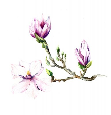 Fotomural A aquarela flores Magnolia isolada no fundo branco