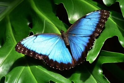 Fotomural A consideravelmente azuis terras borboleta morfo nos jardins da borboleta.