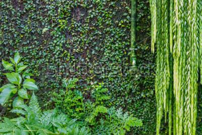 Fotomural A furacão verde é uma parede de vegetação seca com uma trepadeira verde, jardina fundo verde. Plantas verdes molhadas