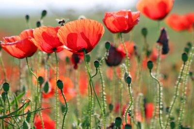 Fotomural Abelha, papoulas, flor, primavera, estação