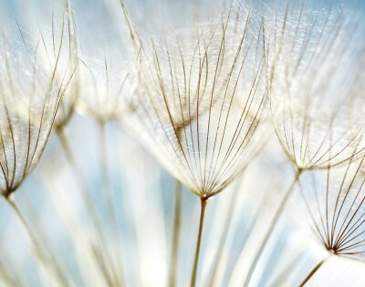 Fotomural Abstract dandelion flor fundo