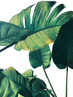 Fotomural Abstract tropical green leaves pattern on white background, lush foliage of giant golden pothos or Devil's ivy (Epipremnum aureum) the tropic plant..