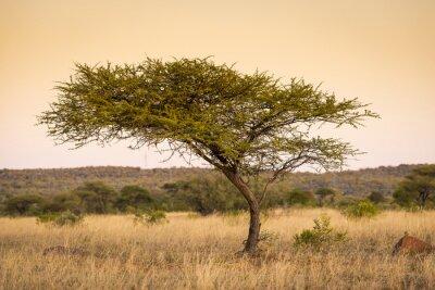 Fotomural Acácia árvore África