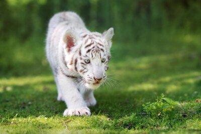 Fotomural Adorable, branca, tigre, filhote, andar, capim