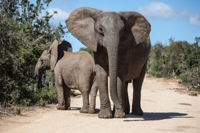 Fotomural African Elephants in South African Park