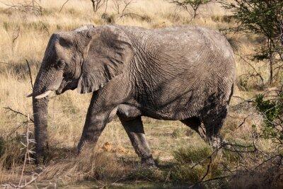 Fotomural Africano, elefante, andar, através, etosha, nacional, parque, namíbia