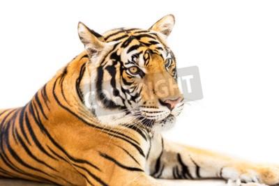 Fotomural Agachado jovem tigre siberiano isolado no fundo branco