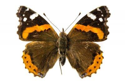 Fotomural Almirante vermelho borboleta