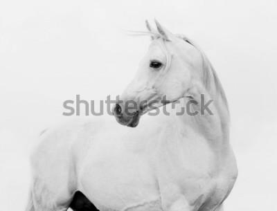 Fotomural arab horse in high key