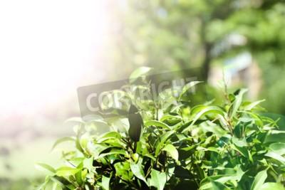 Fotomural Arbusto de chá verde com folhas frescas, ao ar livre