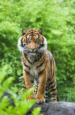 Fotomural Asiático, ou, bengal, tigre, ficar, bambu, arbustos, fundo